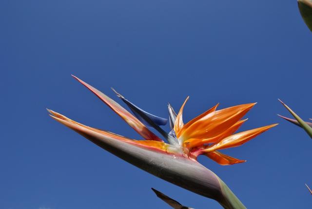 Papegaaiplant