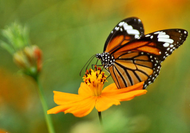 Vlinder Top Vlinder Kleurplaat Kleurplaten Vlinder Dieren