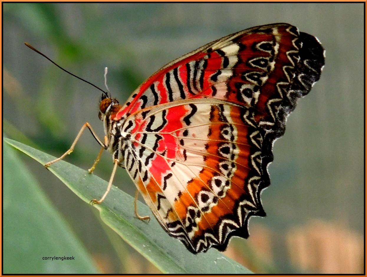 Foto Tropische Vlinder Van Corrylengkeek