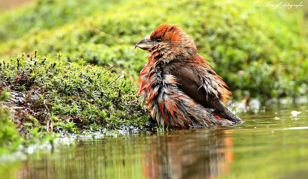 Foto kruisbek neemt een bad van coram - Foto in een bad ...