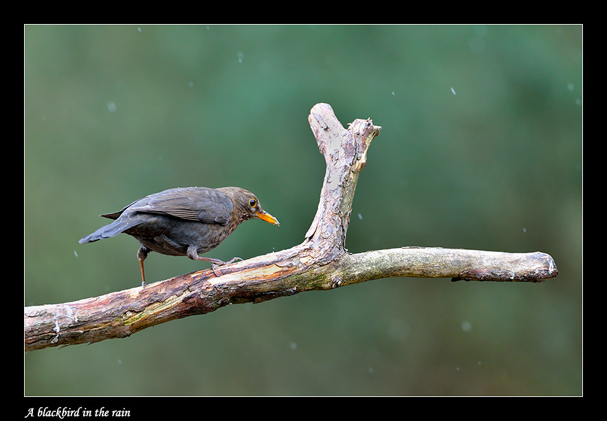 Foto A blackbird in the rain door Qpic