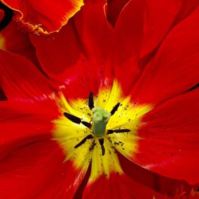 Foto Tulp door karinmichies