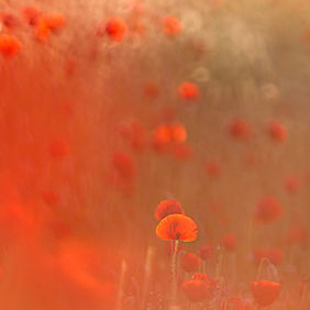Foto In Poppies door IngridVekemans