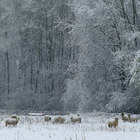 Foto Schapen in sneeuwlandschap door Nokin