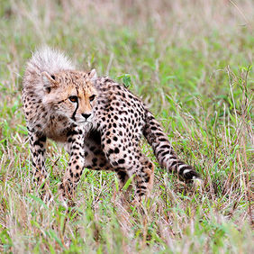 Foto Young Cheetah door Qpic