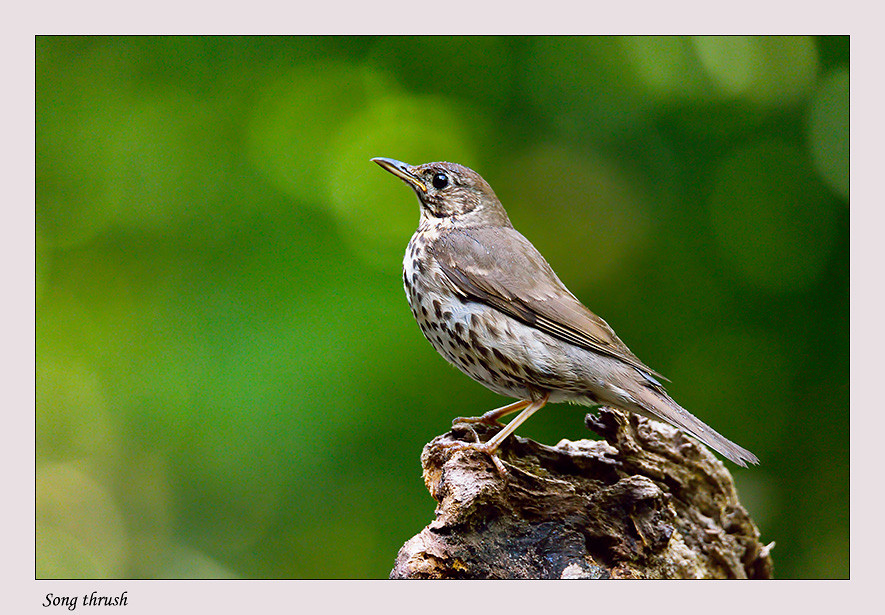 Foto Song thrush door Qpic