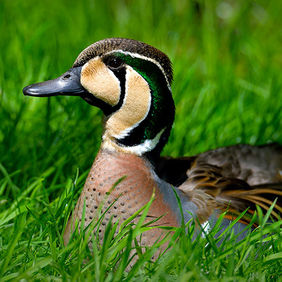 Foto A duck in the grass door Qpic