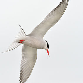 Foto Little Tern door Qpic