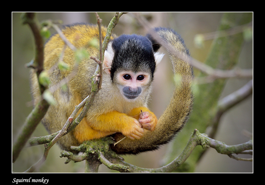 Foto Squirrel monkey door Qpic
