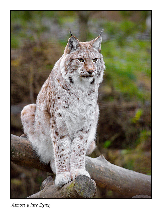 Foto Almost white Lynx door Qpic