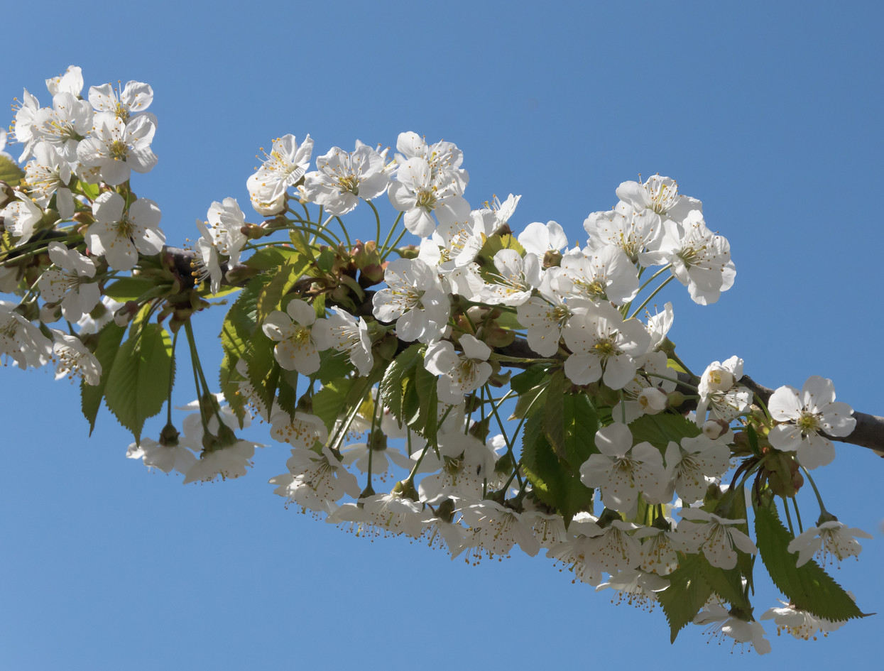 Foto Prunus door PFV