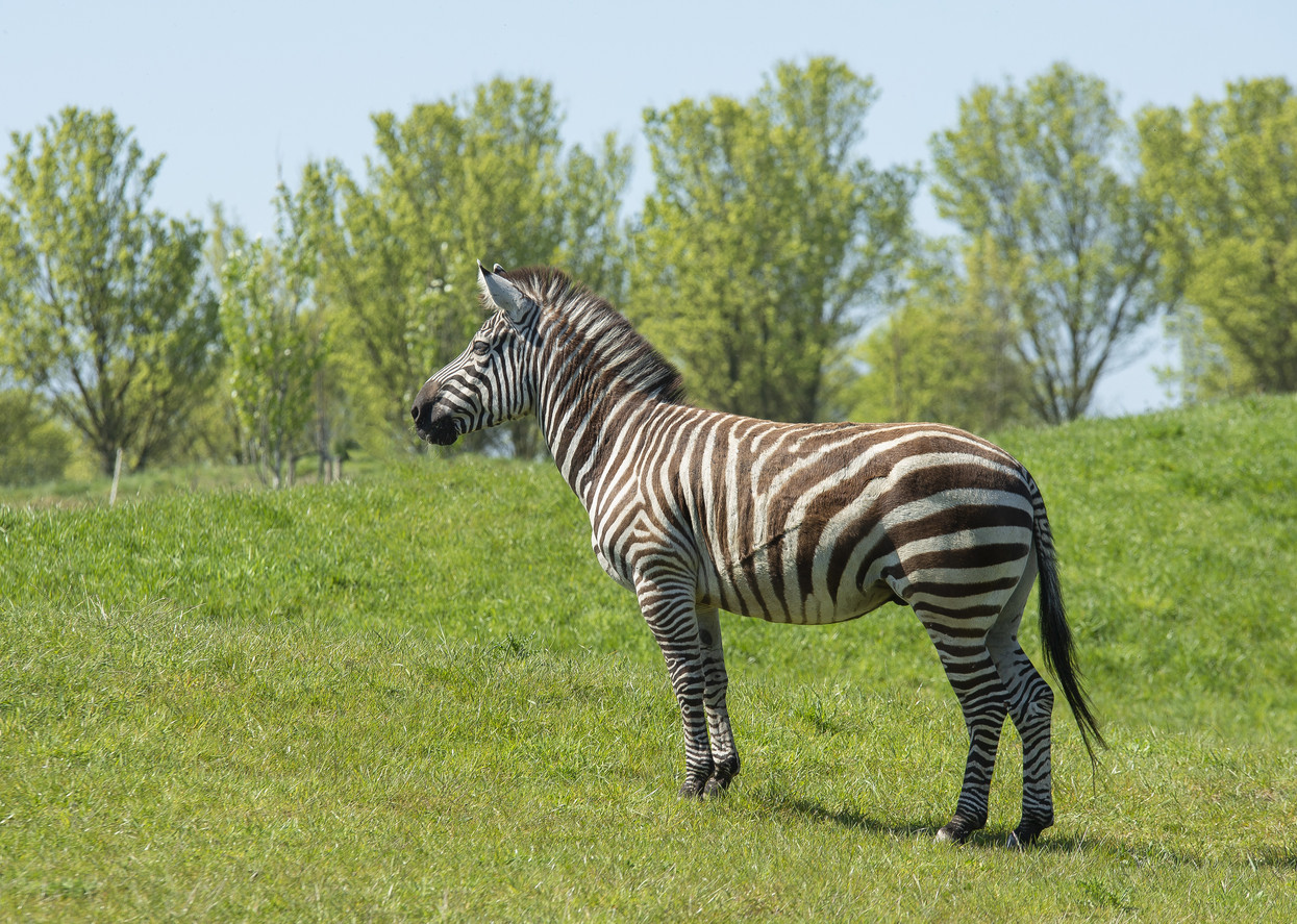 Foto Zebra in hollandslandschap... door bibi