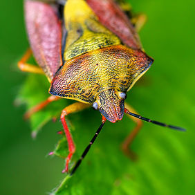 Foto Berry shield bug door Qpic