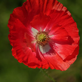 Foto Papaver door DVR550D