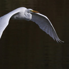 Foto Great Egret door SapevanderPloeg