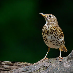 Foto Thrush in Bussum door Qpic