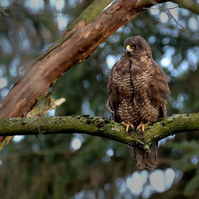 Foto Buzzard in Limburg door Qpic