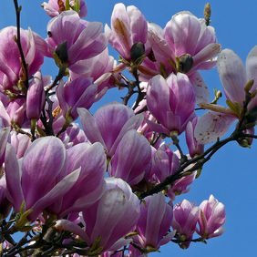 Foto Magnolia of beverboom door ambergham