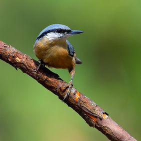 Foto Nuthatch on a branch door Qpic