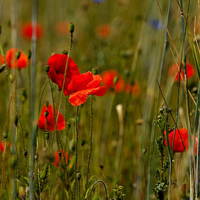 Foto Poppies door Qpic