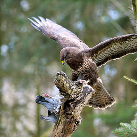 Foto Buzzard with pigeon door Qpic