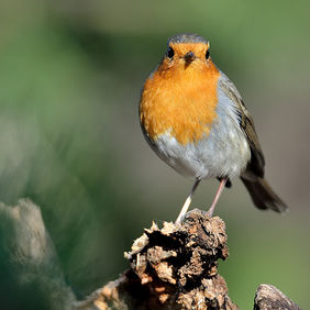 Foto A beautiful robin door Qpic