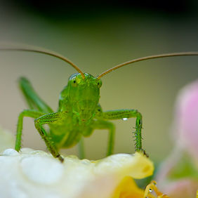 Foto Small green grasshopper door Qpic