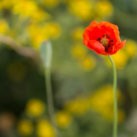 Foto Papaver door Wilfried
