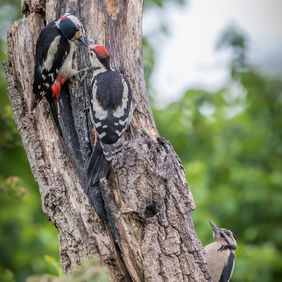 Foto Woody Woodpeckers door Leerya