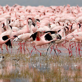 Foto Flamingos on Lake Nakuru door Qpic