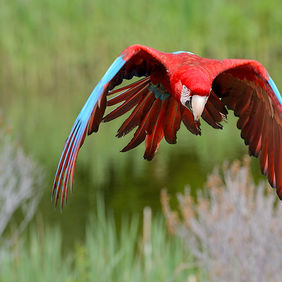 Foto Flying macaw door Qpic