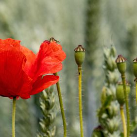 Foto Papaver door bertk