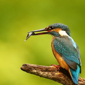 Foto Kingfisher door coram