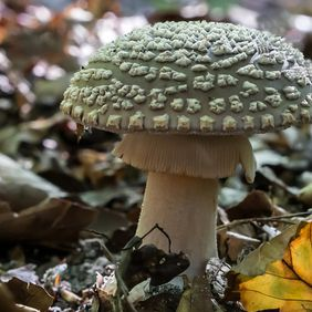 Foto Panteramaniet door victoir