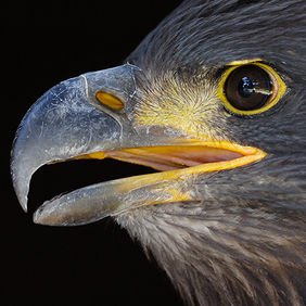 Foto Portrait of an Eagle door Qpic
