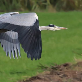 Foto Reiger in de vlucht door zon123