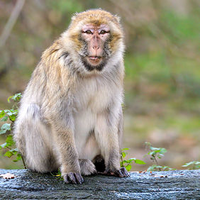 Foto Barbary Macaque door Qpic