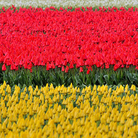 Foto Tulip Flag door Qpic
