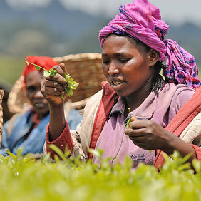 Foto Picking tea in Kenya door Qpic